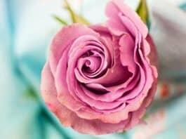 rose éternelle cadeau intemporel